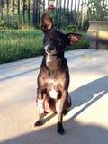 与桃红色绷带的奇瓦瓦狗在坐在阳光下的胳膊 库存照片