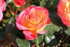 与桃红色细微差异的黄色玫瑰 库存照片