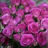 与桃红色紫罗兰的背景上升了 库存图片