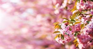 与桃红色bokeh的樱花分支在背景中 免版税库存照片