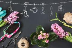 与桃红色calanchoe的从事园艺的春天概念和风信花和工具在黑人委员会 复制空间 顶视图 免版税图库摄影