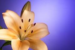 与桃色的百合花的背景 免版税库存图片
