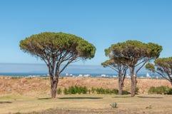 与桌山的杉树在开普敦在背景中 免版税库存图片