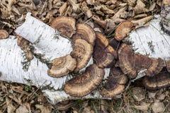 与桦树分支和蘑菇的背景 免版税库存照片