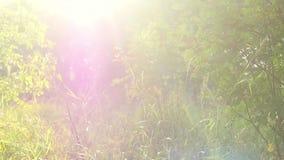 与桦树叶子的自然明亮的背景弄脏了背景,并且与透镜的sunlights在慢动作飘动 1920x1080 股票录像