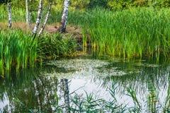与桦树和水厂的美好的夏天秋天水风景 库存图片