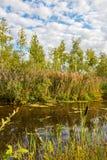 与桦树和池塘的夏天风景 库存图片