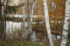 与桦树树干和黄色叶子的秋天风景 图库摄影