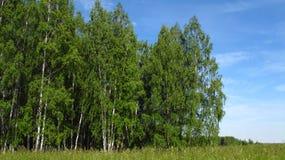 与桦树的美好的夏天风景 免版税库存图片