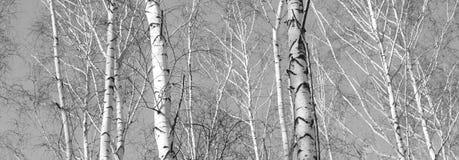 与桦树的美好的风景 图库摄影