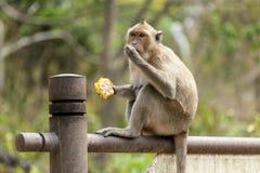 与棒子的猴子 免版税图库摄影