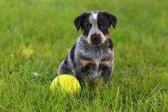 与棒球的澳大利亚牛狗 免版税库存照片