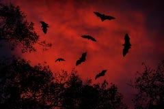 与棒的夜野生生物 巨型印地安果实蝙蝠,狐蝠属giganteus,在红色日落黑暗天空 飞行mouses在自然栖所, 免版税图库摄影