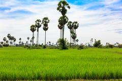 与棕榈树和蓝天的绿色米领域 库存图片