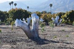 与棕榈树在中部和圣塔巴巴拉山的鳄梨树在背景中 免版税库存照片