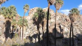 与棕榈树的全景从右到左绿洲在沙漠 慢的行动 4K 股票录像