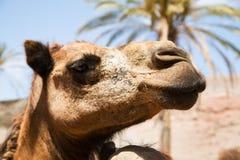 与棕榈的骆驼面孔,在夏天,费埃特文图拉岛 图库摄影