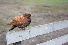 与棕色全身羽毛的鸠在公园 免版税库存图片