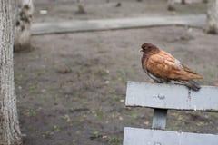 与棕色全身羽毛的鸠在公园 库存图片