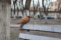 与棕色全身羽毛的鸠在公园 库存照片