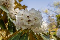 与棕色分支的美丽的桃红色木兰花树反对草坪和花被弄脏的背景在英国 免版税库存图片