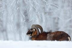 与棕色动物的冬天风景 Mouflon,羊属orientalis,与雪在森林里,在自然ha的有角的动物的冬天场面 免版税图库摄影