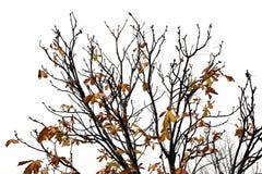 与棕色叶子的树枝 免版税图库摄影