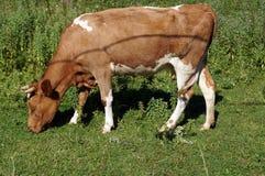 与棕色和白色羊毛的一头母牛 免版税库存图片