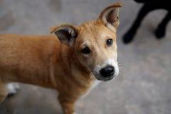 与棕色头发的一条地方泰国小狗,查寻 库存照片