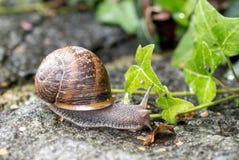 与棕色房子的蜗牛 库存图片
