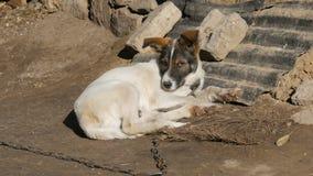 与棕色枪口的取暖逗人喜爱的白色的小狗在一个链子在一个老围场在阳光下 股票视频