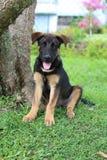 与棕色标号坐的15星期老小狗 免版税库存图片
