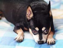 与棕色狗的逗人喜爱的黑肥胖可爱的微型pincher狗注视好奇面孔 免版税库存照片