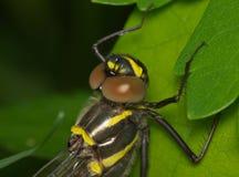 与棕色眼睛的大蜻蜓 免版税库存图片