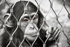 与棕色眼睛的小哀伤的小黑猩猩猴子 免版税库存照片