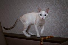 与棕色耳朵和一条镶边尾巴的一只蓝眼睛的小猫在小珠旁边站立 图库摄影