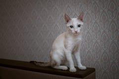 与棕色耳朵和一条镶边尾巴的一只蓝眼睛的小猫坐长沙发 库存照片