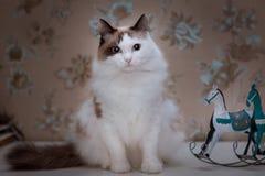 与棕色耳朵和尾巴的蓬松白色猫坐与玩具马的桌 免版税库存照片