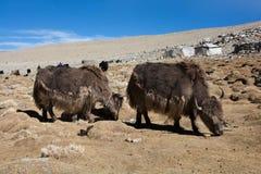 与棕色长的羊毛,锐利的两头西藏牦牛弯曲的垫铁在Chongpa附近吃草,拉达克,印度的帐篷游牧人 免版税库存照片