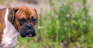 与棕色颜色条纹的幼小狗,养殖德国拳击手 库存图片