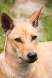 与棕色头发的亚洲狗在泰国的庭院里。 库存照片