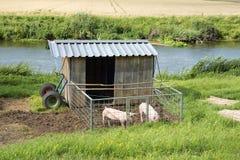 与棚子的猪 免版税库存图片