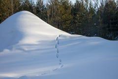 与森林、雪小山和分开的云杉的美好的冬天风景 在动物森林踪影的雪小山  免版税图库摄影