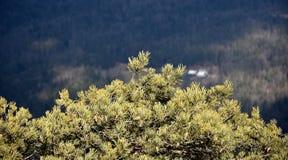 与森林的杉树在背景中 库存图片