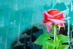 与植物叶子的桃红色花一点上升了在黑色的结冰与与霜,背景,难看的东西的绿松石金属表面, 免版税库存图片