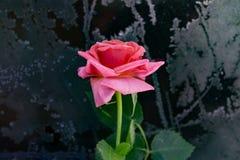 与植物叶子的桃红色花一点上升了黑金属表面上的结冰与霜,背景,难看的东西,顶视图,拷贝空间 库存图片