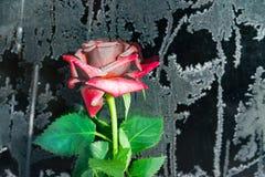 与植物叶子的桃红色花一点上升了黑金属表面上的结冰与霜,背景,难看的东西,顶视图,拷贝空间 免版税库存图片