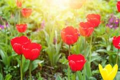 与植物的美丽的红色郁金香 免版税库存照片