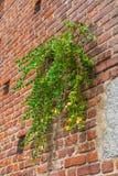 与植物,sforza城堡,米兰,意大利的砖墙背景 库存图片