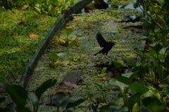 与植被和一只黑鸟的老木筏在亚马孙河 库存图片